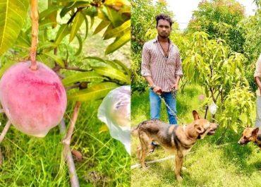 Индийский фермер случайно купил саженцы самого дорогого манго в мире