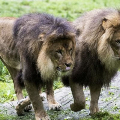 В зоосаде все готово ко встрече со львами