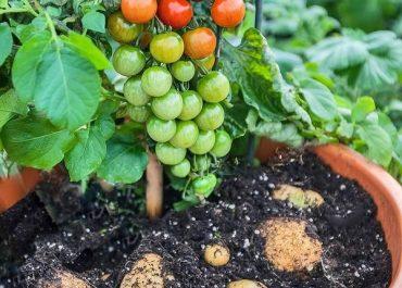Идеальное растение для каждого огородника — помидофель